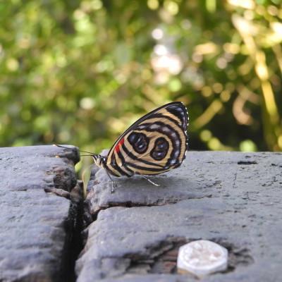 Schmetterling Iguacu